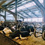 ligstal koeien